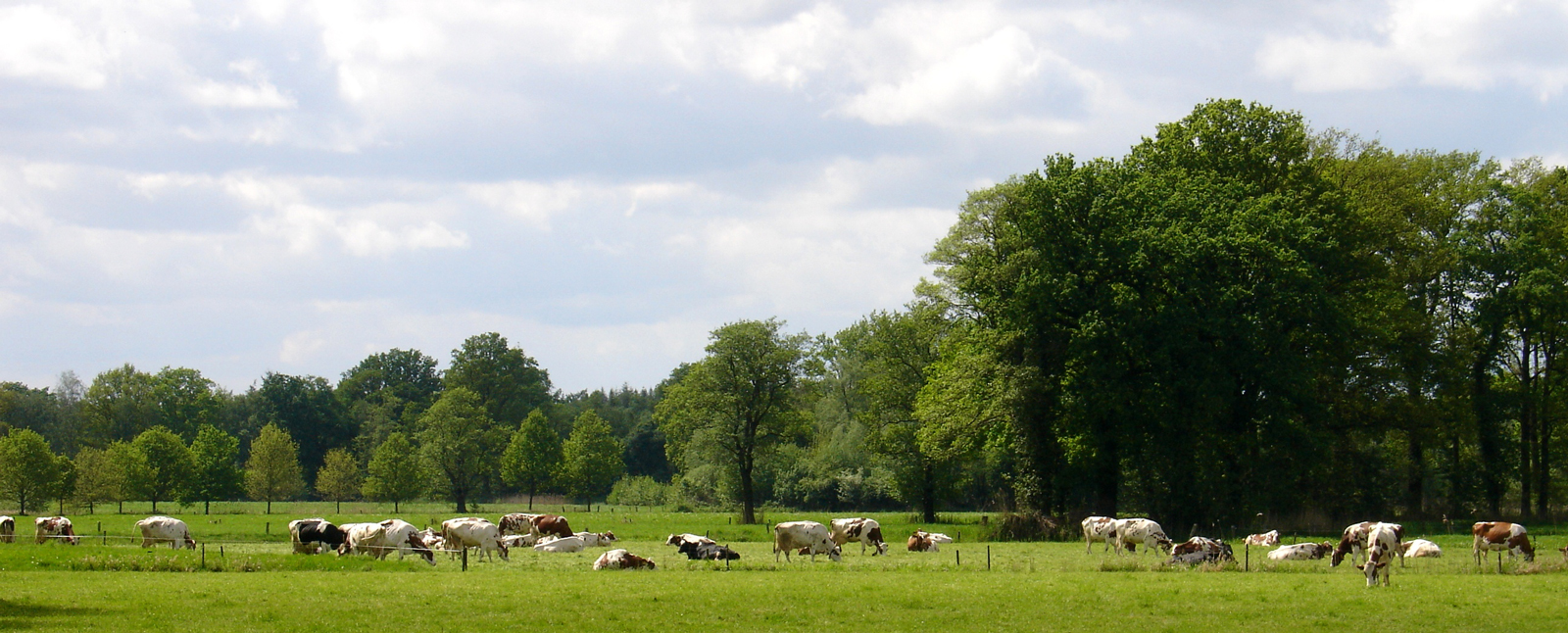 koeien in twentse wei